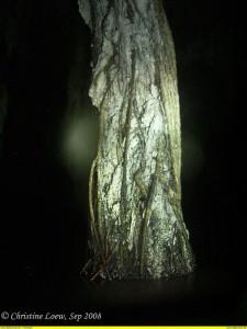 rootsicle, versteinerte Wurzel ©Christine Loew, cavern, cave. Grottentauchen, Dreamgate